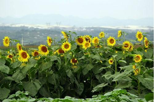 Nao lòng với cánh đồng hoa hướng dương vàng rực ở miền Tây xứ Nghệ - anh 7