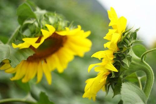 Nao lòng với cánh đồng hoa hướng dương vàng rực ở miền Tây xứ Nghệ - anh 8