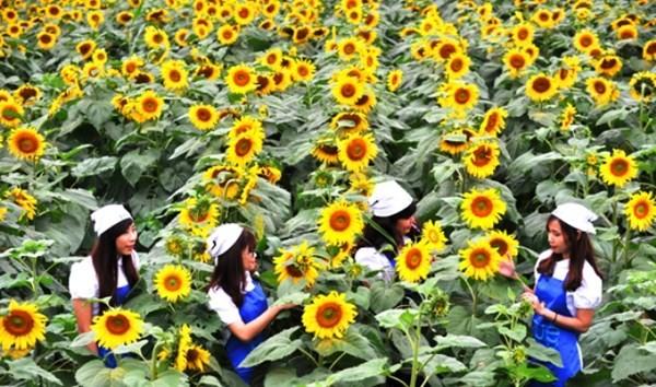 Chân dung nữ chủ nhân nghìn tỉ của cánh đồng hoa hướng dương Nghệ An - anh 2