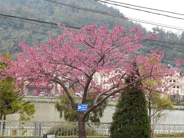 Ngẩn ngơ mùa hoa anh đào về ở Sapa - anh 3