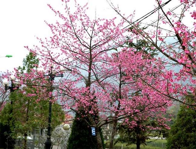 Ngẩn ngơ mùa hoa anh đào về ở Sapa - anh 6