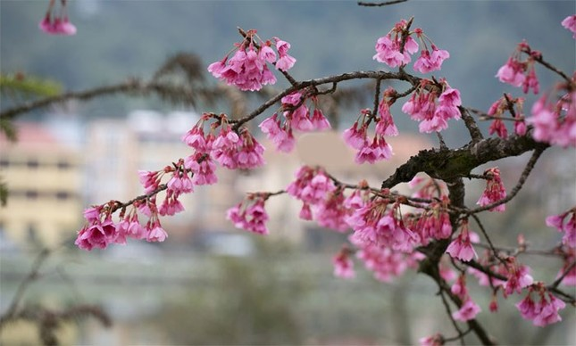 Ngẩn ngơ mùa hoa anh đào về ở Sapa - anh 7