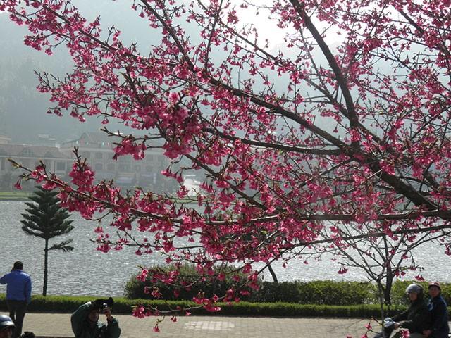 Ngẩn ngơ mùa hoa anh đào về ở Sapa - anh 8