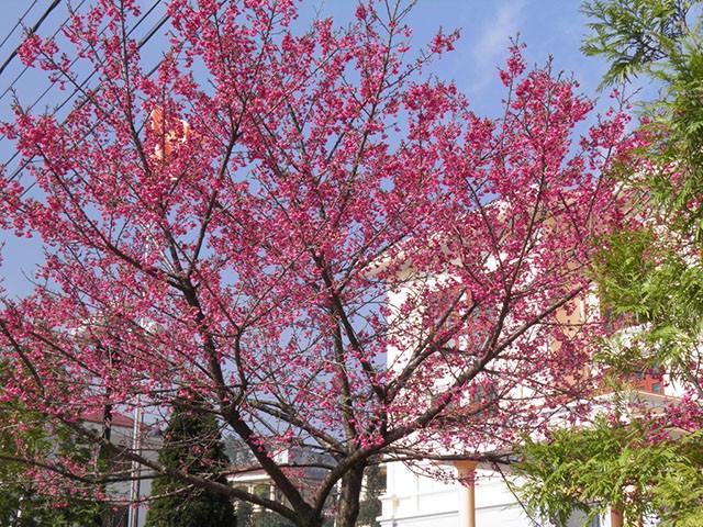 Ngẩn ngơ mùa hoa anh đào về ở Sapa - anh 9