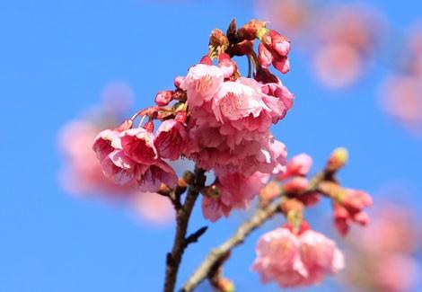 Ngẩn ngơ mùa hoa anh đào về ở Sapa - anh 10