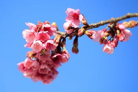 Ngẩn ngơ mùa hoa anh đào về ở Sapa - anh 11