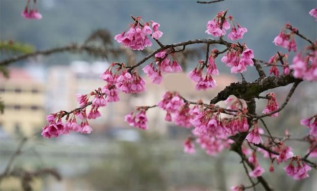 Ngẩn ngơ mùa hoa anh đào về ở Sapa - anh 1