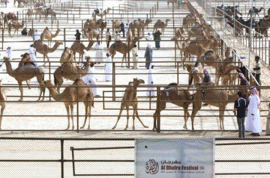 """Độc đáo cuộc thi """"hoa hậu"""" lạc đà ở xứ Ả Rập - anh 2"""