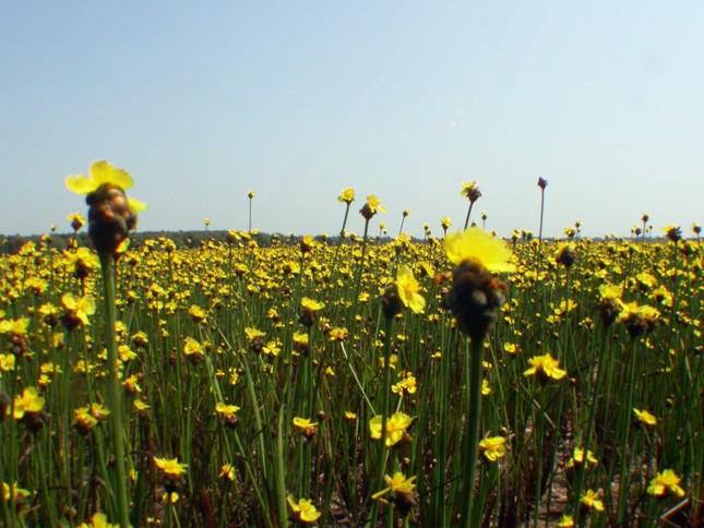 Ngắm nghía thảm hoa vàng rực rỡ ở Vườn quốc gia Tràm Chim - anh 2