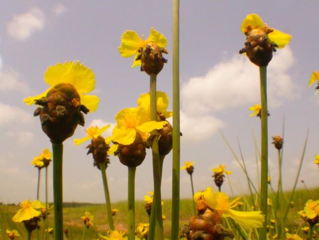 Ngắm nghía thảm hoa vàng rực rỡ ở Vườn quốc gia Tràm Chim - anh 1