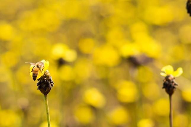 Ngắm nghía thảm hoa vàng rực rỡ ở Vườn quốc gia Tràm Chim - anh 4