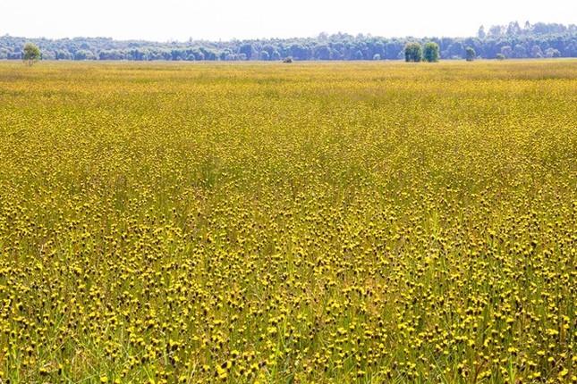 Ngắm nghía thảm hoa vàng rực rỡ ở Vườn quốc gia Tràm Chim - anh 5