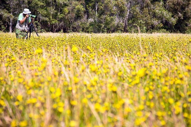 Ngắm nghía thảm hoa vàng rực rỡ ở Vườn quốc gia Tràm Chim - anh 6