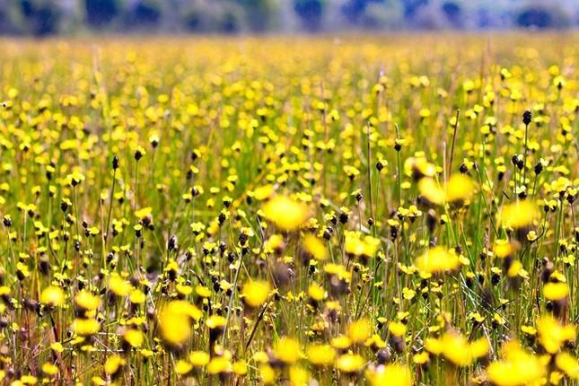 Ngắm nghía thảm hoa vàng rực rỡ ở Vườn quốc gia Tràm Chim - anh 7