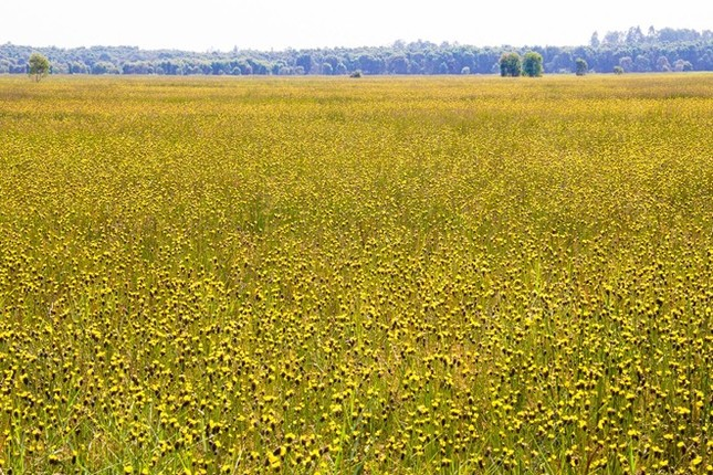 Ngắm nghía thảm hoa vàng rực rỡ ở Vườn quốc gia Tràm Chim - anh 8
