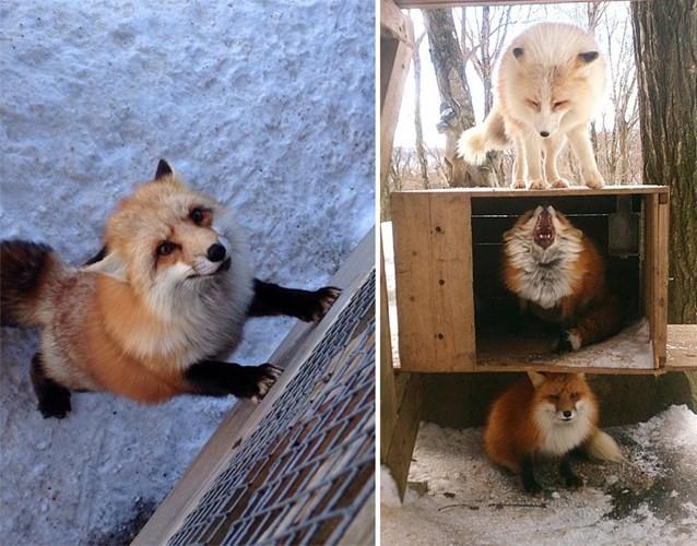 Khám phá ngôi làng của những chú cáo đáng yêu ở Nhật Bản - anh 1