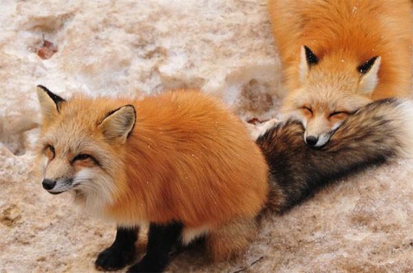 Khám phá ngôi làng của những chú cáo đáng yêu ở Nhật Bản - anh 4