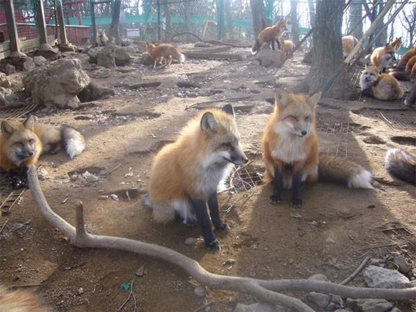 Khám phá ngôi làng của những chú cáo đáng yêu ở Nhật Bản - anh 6