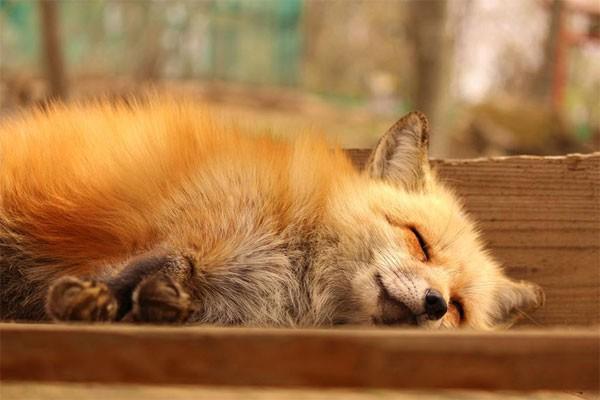 Khám phá ngôi làng của những chú cáo đáng yêu ở Nhật Bản - anh 7