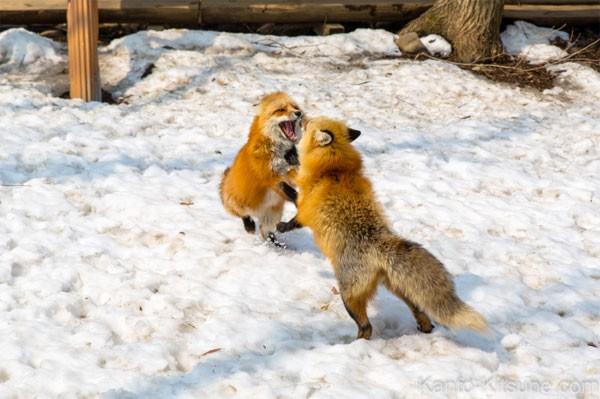 Khám phá ngôi làng của những chú cáo đáng yêu ở Nhật Bản - anh 8