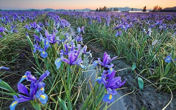 Mê mải ngắm những thiên đường hoa tím đẹp ngất ngây trên thế giới - anh 4