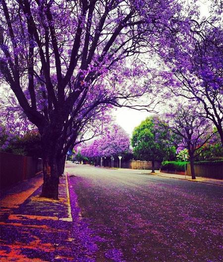 Mê mải ngắm những thiên đường hoa tím đẹp ngất ngây trên thế giới - anh 6
