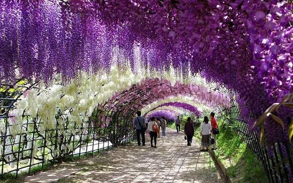 Mê mải ngắm những thiên đường hoa tím đẹp ngất ngây trên thế giới - anh 2