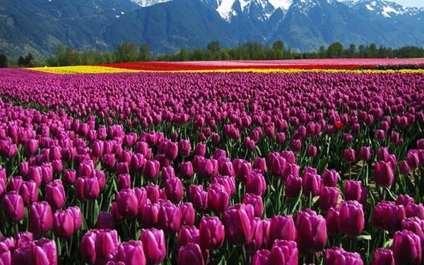 Mê mải ngắm những thiên đường hoa tím đẹp ngất ngây trên thế giới - anh 5