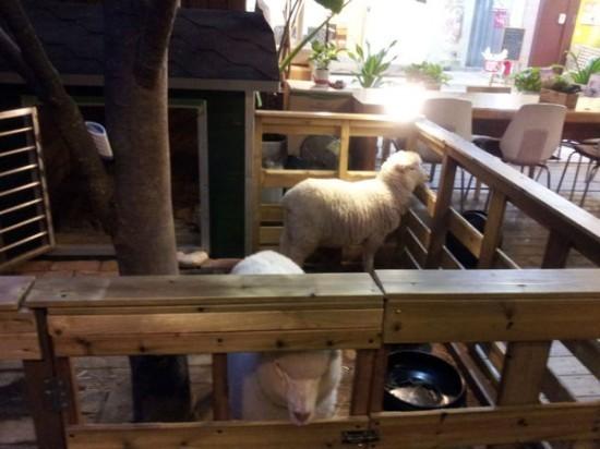"""Độc đáo quán cafe cừu đang """"sốt"""" dịp năm mới ở Hàn Quốc - anh 4"""