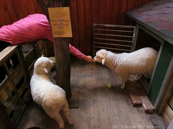"""Độc đáo quán cafe cừu đang """"sốt"""" dịp năm mới ở Hàn Quốc - anh 5"""