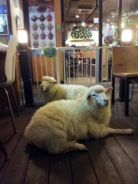 """Độc đáo quán cafe cừu đang """"sốt"""" dịp năm mới ở Hàn Quốc - anh 6"""