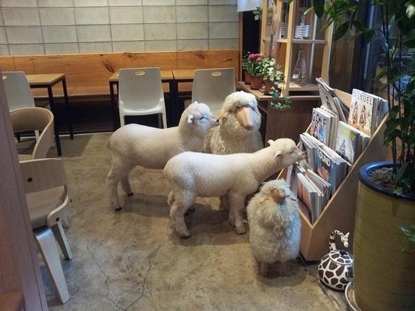 """Độc đáo quán cafe cừu đang """"sốt"""" dịp năm mới ở Hàn Quốc - anh 7"""