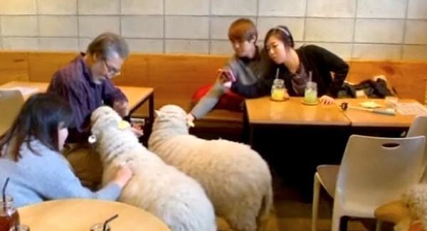 """Độc đáo quán cafe cừu đang """"sốt"""" dịp năm mới ở Hàn Quốc - anh 8"""