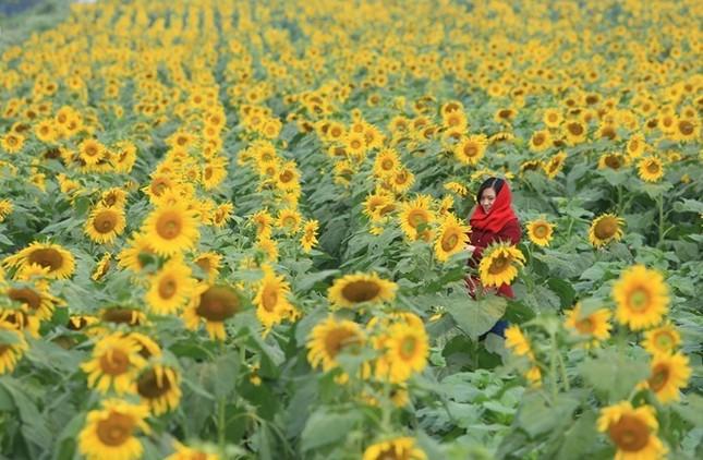 Cánh đồng hoa hướng dương ở Nghệ An - Điểm đến không thể bỏ lỡ trong tháng 11 - anh 1