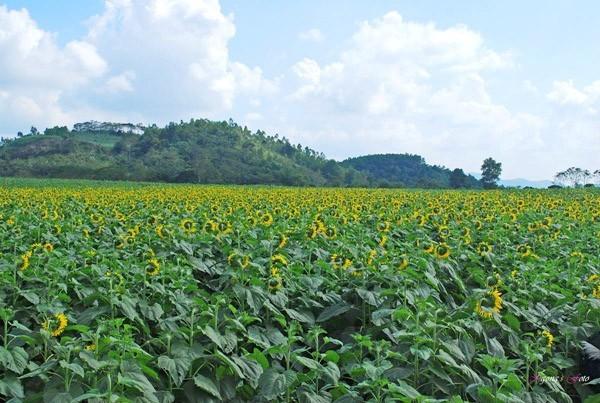 Cánh đồng hoa hướng dương ở Nghệ An - Điểm đến không thể bỏ lỡ trong tháng 11 - anh 2