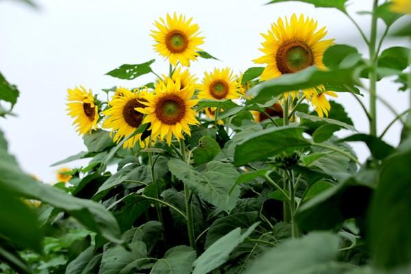Cánh đồng hoa hướng dương ở Nghệ An - Điểm đến không thể bỏ lỡ trong tháng 11 - anh 5