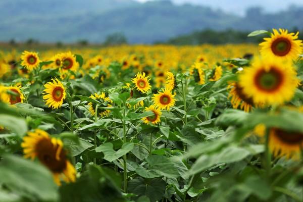 Cánh đồng hoa hướng dương ở Nghệ An - Điểm đến không thể bỏ lỡ trong tháng 11 - anh 6