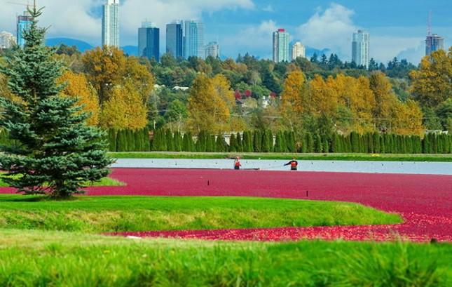 Choáng ngợp trước sắc đỏ của cánh đồng việt quất mùa thu hoạch - anh 1