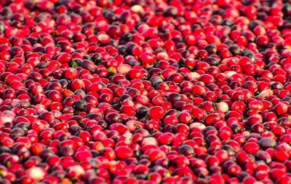 Choáng ngợp trước sắc đỏ của cánh đồng việt quất mùa thu hoạch - anh 2