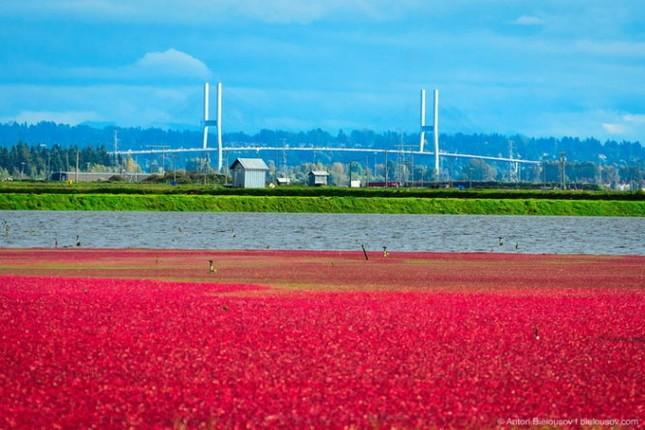 Choáng ngợp trước sắc đỏ của cánh đồng việt quất mùa thu hoạch - anh 3