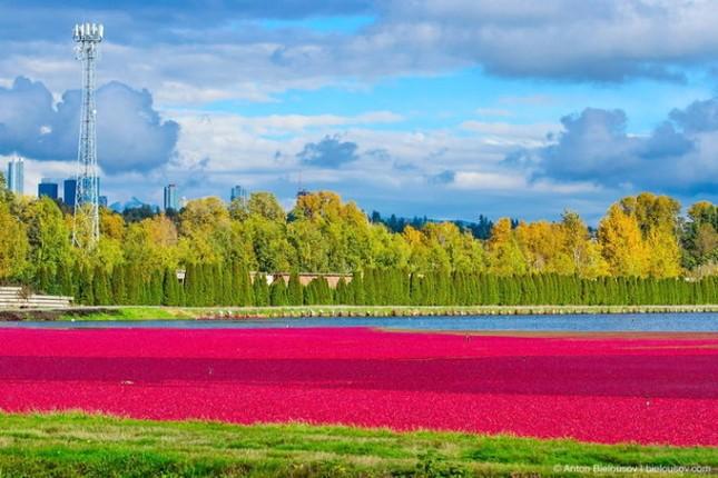 Choáng ngợp trước sắc đỏ của cánh đồng việt quất mùa thu hoạch - anh 4