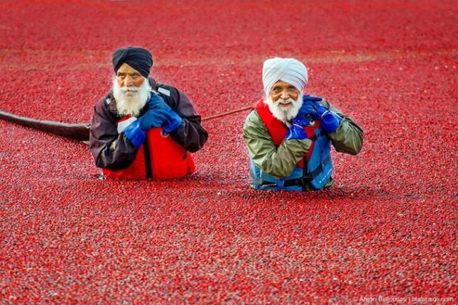 Choáng ngợp trước sắc đỏ của cánh đồng việt quất mùa thu hoạch - anh 6