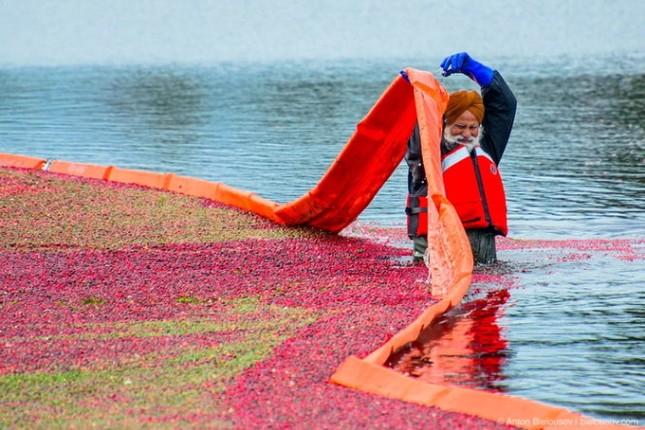 Choáng ngợp trước sắc đỏ của cánh đồng việt quất mùa thu hoạch - anh 7