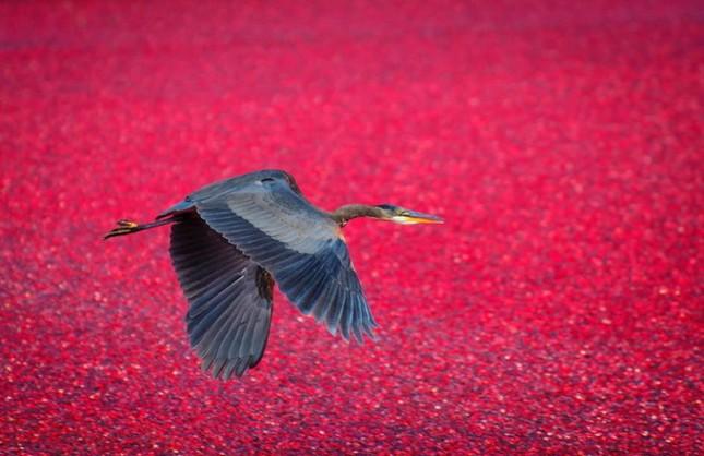 Choáng ngợp trước sắc đỏ của cánh đồng việt quất mùa thu hoạch - anh 10