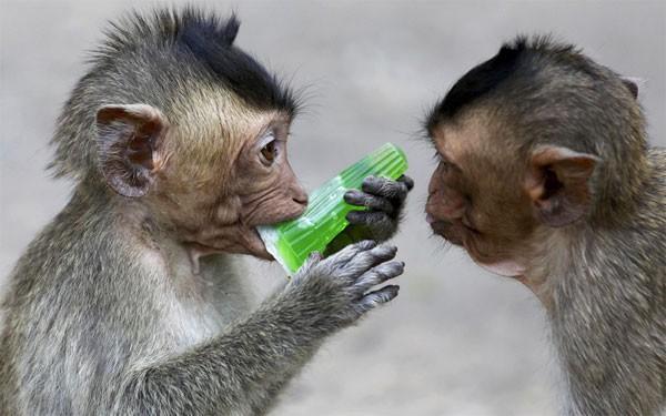 Độc đáo đại tiệc buffet cho khỉ ở Thái Lan - anh 5