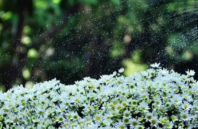 Nao lòng ngắm cúc hoạ mi đầu đông ở Hà Nội - anh 4