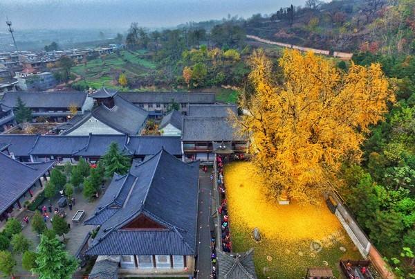 """Biển """"vàng"""" quanh cây ngân hạnh 1400 tuổi ở Trung Quốc - anh 1"""