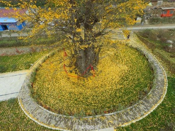 """Biển """"vàng"""" quanh cây ngân hạnh 1400 tuổi ở Trung Quốc - anh 10"""