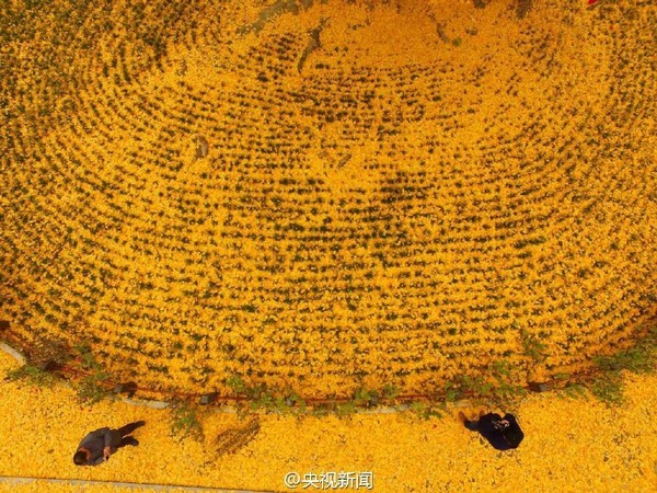 """Biển """"vàng"""" quanh cây ngân hạnh 1400 tuổi ở Trung Quốc - anh 11"""