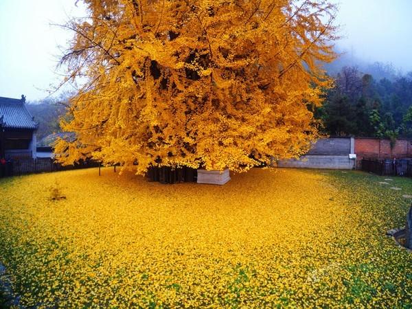"""Biển """"vàng"""" quanh cây ngân hạnh 1400 tuổi ở Trung Quốc - anh 2"""
